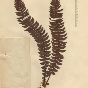 Polystichum lonchitis (L.) Roth (Polystic en fer de lance)