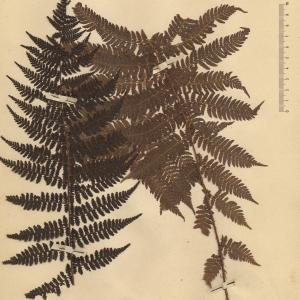 - Aspidium filix-femina (L.) Sw.