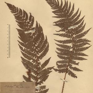 Polystichum setiferum (Forssk.) T.Moore ex Woyn. (Polystic à soies)