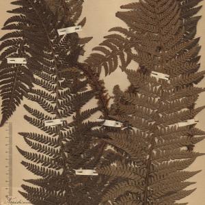 Photographie n°2268691 du taxon Polystichum aculeatum (L.) Roth [1799]