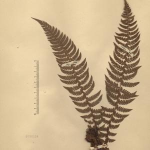 Polystichum lobatum (Huds.) Bastard (Polystic à aiguillons)