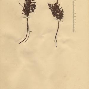 Photographie n°2268696 du taxon Asplenium cuneifolium Viv. [1806]