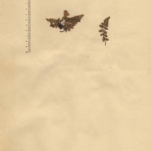 Asplenium obovatum Viv. (Asplénium à feuilles obovales)