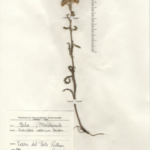 Achillea collina (Becker ex Rchb.) Heimerl (Achillée des collines)