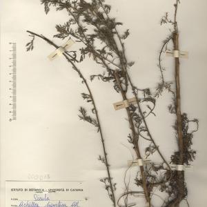 Photographie n°2268731 du taxon Achillea ligustica All.