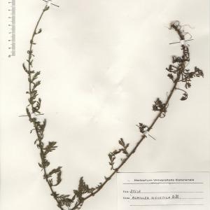 Photographie n°2268733 du taxon Achillea ligustica All.