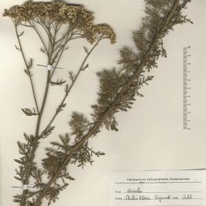 Photographie n°2268734 du taxon Achillea ligustica All.