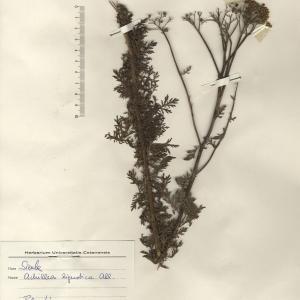 Photographie n°2268735 du taxon Achillea ligustica All.