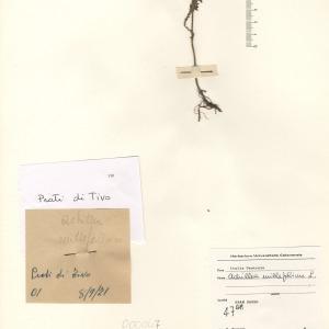 - Achillea millefolium L. [1753]