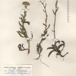 Achillea millefolium L. (Achillée millefeuille)