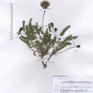 Astragalus monspessulanus L. subsp. monspessulanus (Astragale de Montpellier)