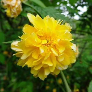 Kerria japonica (L.) DC. (Corète du Japon)