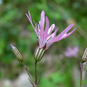 Photographie n°2268820 du taxon Lychnis flos-cuculi L. [1753]
