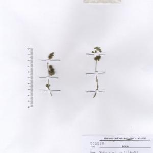 Medicago minima (L.) L. var. minima