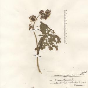 Adenostyles alliariae (Gouan) A.Kern. (Adénostyle à feuilles d'alliaire)