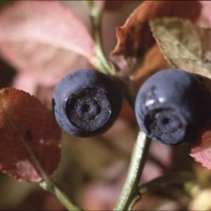 Photographie n°2268878 du taxon Vaccinium myrtillus L. [1753]