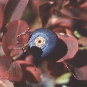 Photographie n°2268880 du taxon Vaccinium myrtillus L. [1753]