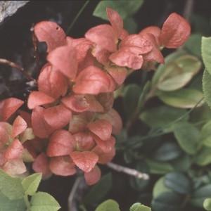 Photographie n°2268882 du taxon Vaccinium myrtillus L.