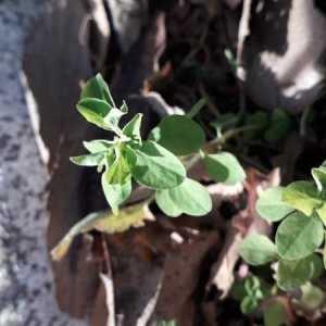 Photographie n°2268943 du taxon Euphorbia peplus L. [1753]
