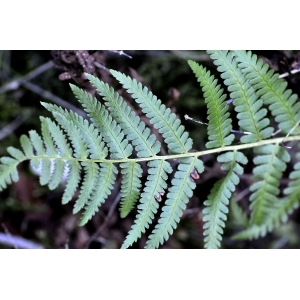 Dryopteris cebennae auct. (Dryoptéris d'Ardèche)