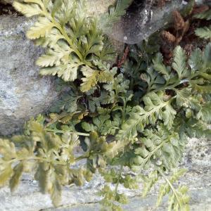Photographie n°2269071 du taxon Asplenium adiantum-nigrum L.