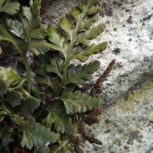 Photographie n°2269072 du taxon Asplenium adiantum-nigrum L.