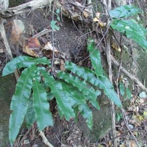 Photographie n°2269079 du taxon Asplenium scolopendrium L. [1753]