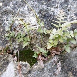 Photographie n°2269108 du taxon Asplenium adiantum-nigrum L.