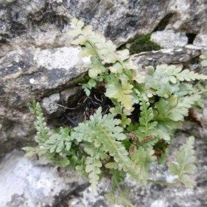 Photographie n°2269109 du taxon Asplenium adiantum-nigrum L.