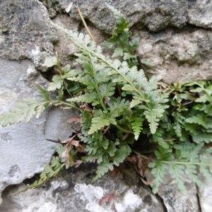 Photographie n°2269110 du taxon Asplenium adiantum-nigrum L.