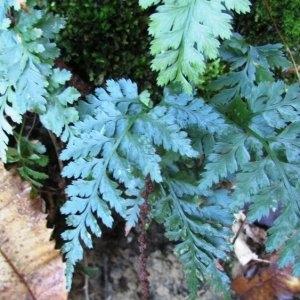 Photographie n°2269114 du taxon Asplenium adiantum-nigrum L.