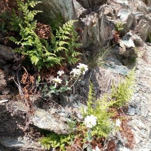 Photographie n°2269129 du taxon Asplenium cuneifolium Viv. [1806]