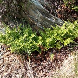 Photographie n°2269130 du taxon Asplenium cuneifolium Viv. [1806]