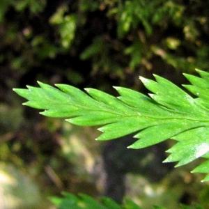 Photographie n°2269156 du taxon Asplenium adiantum-nigrum L.