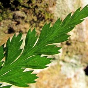 Photographie n°2269157 du taxon Asplenium adiantum-nigrum L.