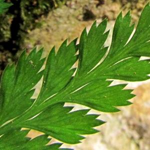 Photographie n°2269158 du taxon Asplenium adiantum-nigrum L.