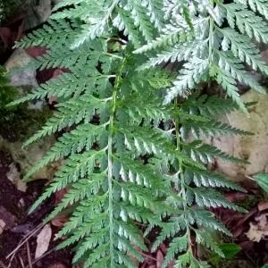 Photographie n°2269164 du taxon Asplenium adiantum-nigrum L.