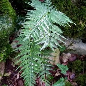 Photographie n°2269166 du taxon Asplenium adiantum-nigrum L.