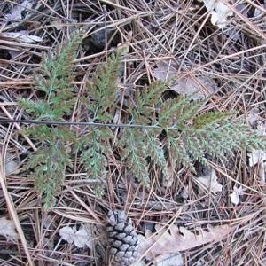 Photographie n°2269167 du taxon Asplenium adiantum-nigrum L.