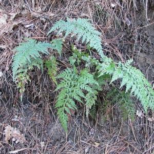 Photographie n°2269168 du taxon Asplenium adiantum-nigrum L.
