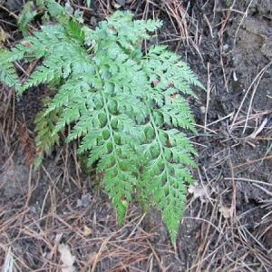 Photographie n°2269170 du taxon Asplenium adiantum-nigrum L.