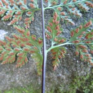 Photographie n°2269174 du taxon Asplenium adiantum-nigrum L.