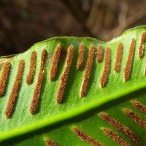 Photographie n°2269221 du taxon Asplenium scolopendrium L. [1753]