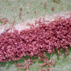 Photographie n°2269225 du taxon Asplenium scolopendrium L. [1753]