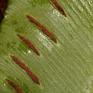 Photographie n°2269226 du taxon Asplenium scolopendrium L. [1753]