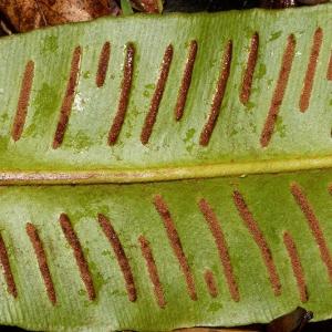 Photographie n°2269227 du taxon Asplenium scolopendrium L. [1753]