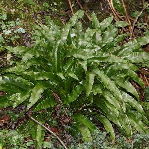 Photographie n°2269232 du taxon Asplenium scolopendrium L. [1753]