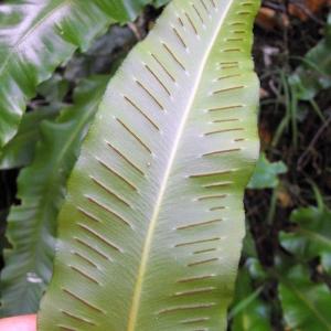 Photographie n°2269241 du taxon Asplenium scolopendrium L. [1753]