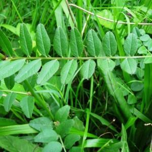 Photographie n°2269302 du taxon Vicia cracca L. [1753]