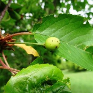 Photographie n°2269459 du taxon Prunus avium (L.) L. [1755]